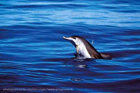 Delfin im Ozean vor La Palma